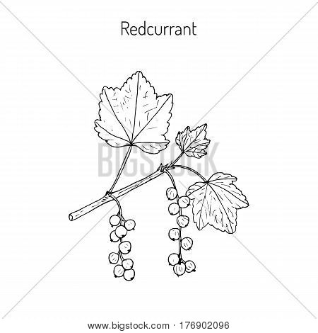 Red currant Ribes rubrum . Hand drawn botanical vector illustration