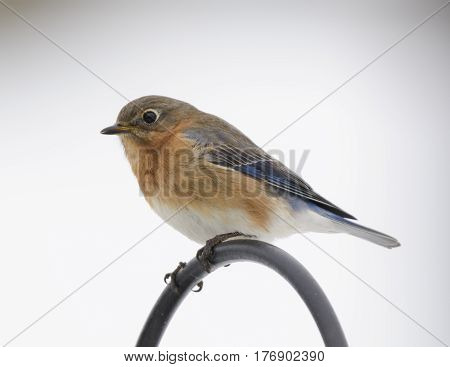 A close-up of a female Eastern Bluebird (Sialia sialis) perched on a shepherds hook, shown in left profile