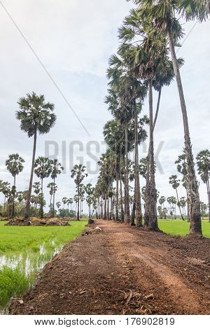 Sugar palm in the green cornfield many clouds on the blue sky