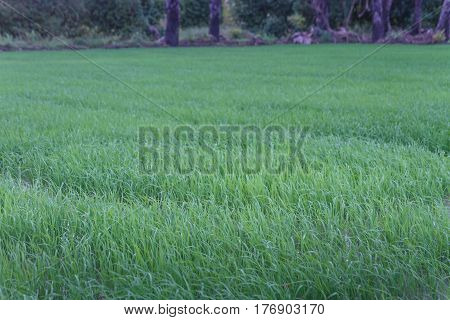 Sugar palm and cornfield, in south of Thailand