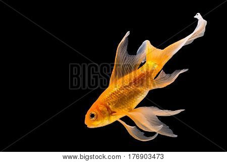 a Goldfish isolated on a black background