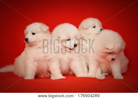 Four Cute White Puppy of Samoyed Dog on Red Fabric Background. White Laika Puppy for your animal designs.