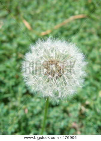 Dandelion Puff - Seeds