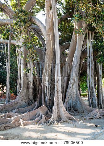 Ficus Tree In Palermo City In Giardino Garibaldi