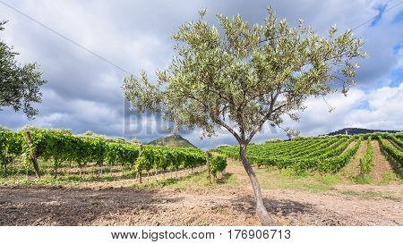Olive Tree In Front Of Vineyards In Etna Region