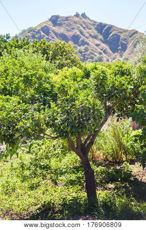 Orange Tree In Garden In Sicily