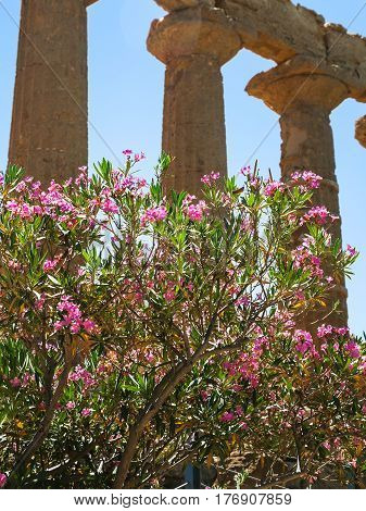 Oleander Tree Near Temple Of Juno In Agrigento