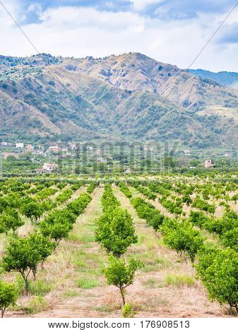 Tangerine Garden In Alcantara Region Of Sicily