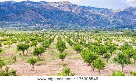 Tangerine Trees In Garden In Sicily
