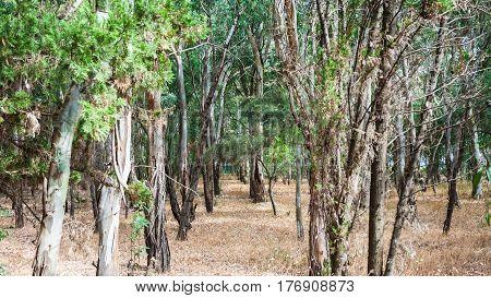 Eucalyptus Grove In Sicily