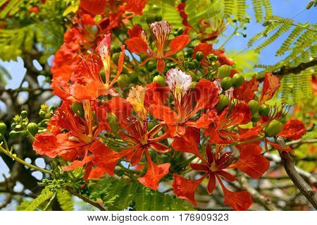 Flame of the forest tree Latin name Delonix regia