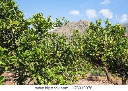 Citrus Trees In Orchard In Sicily In Summer