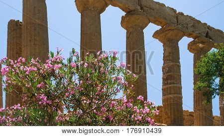 Oleander Bush And Column Temple Of Juno In Sicily