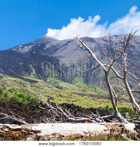 Broken Tree In Hardened Lava Flow On Slope Of Etna