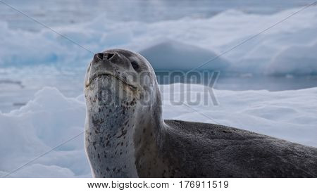 Leopard seal looking up on the iceberg in Antarctica