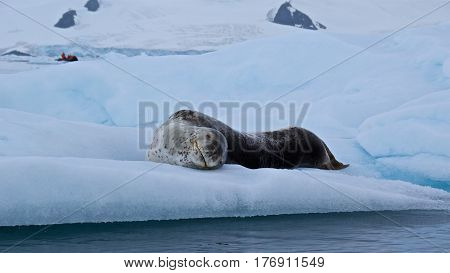 Leopard seal lying on the iceberg in Antarctica