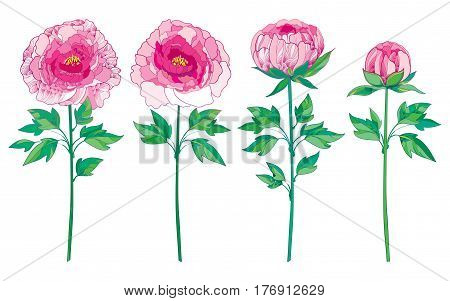 Vector set with outline pink peony isolated on white background. Ornate floral elements with flower, bud and leaves for spring or summer design. Peonies flower in contour style.