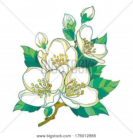 Vector branch with outline pastel Jasmine flowers, bud and green leaves isolated on white background. Floral elements for spring design with bunch of jasmine flower in contour style.