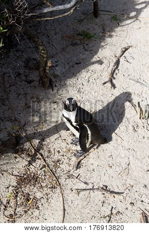 African Penguin From Simon's Town Conservancy Area, South Africa