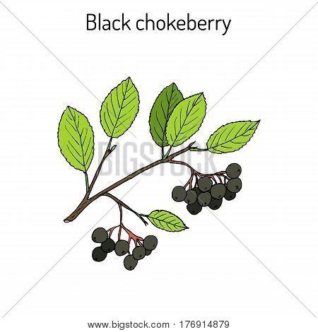 Black chokeberry Aronia melanocarpa , medicinal plant. Hand drawn botanical vector illustration