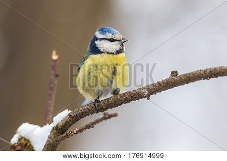 Portrait of a blue tit on a branch in winter