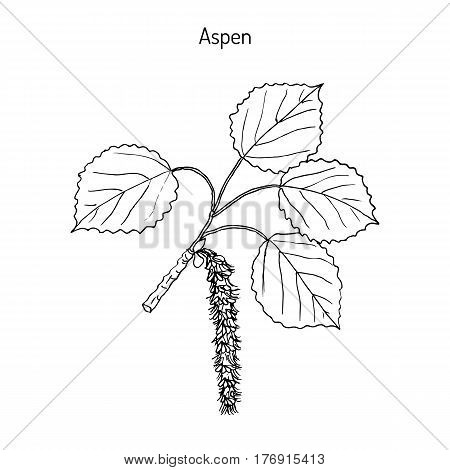 Aspen Populus tremula , or common aspen, Eurasian aspen, European aspen, quaking aspen. Hand drawn botanical vector illustration