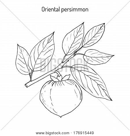 Japanese persimmon Diospyros kaki , or Chinese persimmon, Kaki, Kaki persimmon, Oriental persimmon. Hand drawn botanical vector illustration