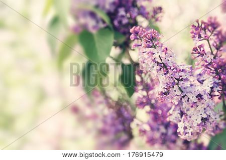 Purple lilac flowers in sunlight spring blossom close-up