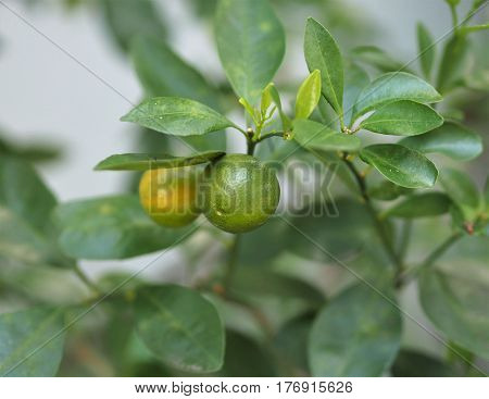Fresh Kumquat Citrus Japonica Fruit On Tree