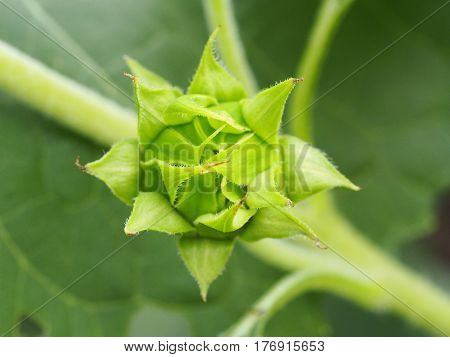 Close Up Of Beautiful Greed Bud Sunflower On Green Leaf Background