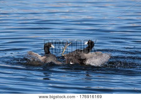 Two Coots in Combat while floating in a pond.