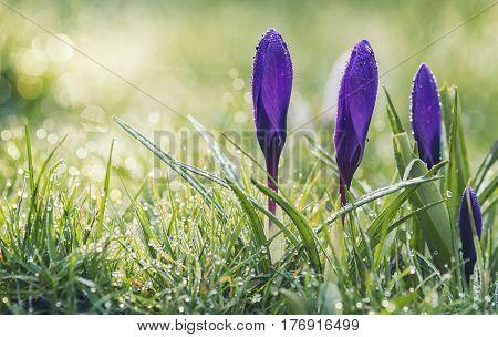 Violet Crocus Flowers in Morning Dew at Spring