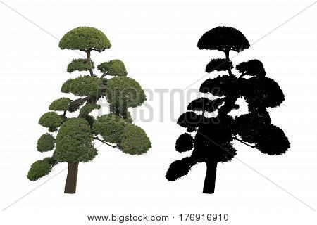 japan garden tree Bonsai isolated on black and white background with alpha mask.