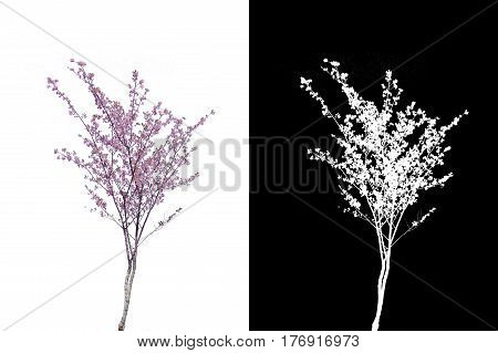 pink cherry blossoms branch isolated on white background and alpha mask.