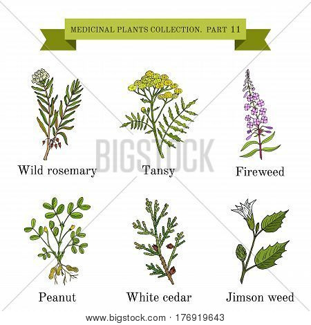 Vintage collection of hand drawn medical herbs and plants, wild rosemary, tansy, fireweed, peanut, white cedar, jimson weed. Botanical vector illustration