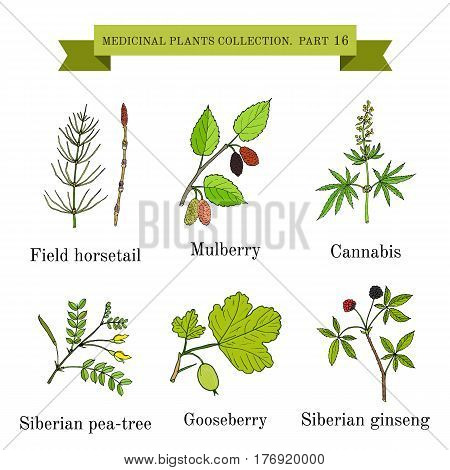 Vintage collection of hand drawn medical herbs and plants, field horsetail, mulberry, cannabis, siberian pea-tree, gooseberry, siberian ginseng. Botanical vector illustration