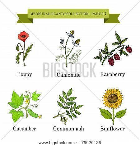 Vintage collection of hand drawn medical herbs and plants, poppy, camomile, raspberry, cucumber, common ash, sunflower. Botanical vector illustration