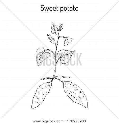 Sweet Potato ipomoea batatas . Hand drawn botanical vector illustration