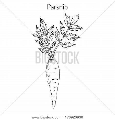 Parsnip pastinaca sativa , root vegetable, hand drawn vector botanical illustration