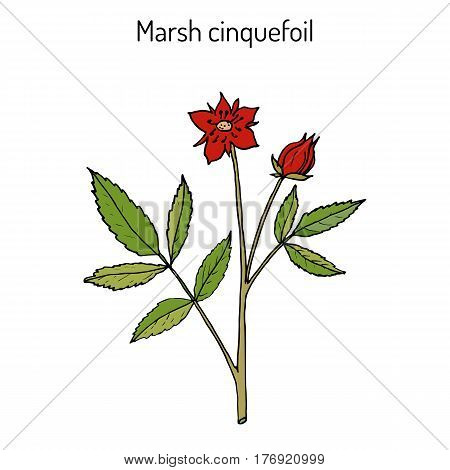Purple Marshlocks comarum palustre , or swamp cinquefoil, marsh cinquefoil. Medicinal plant, hand drawn vector botanical illustration