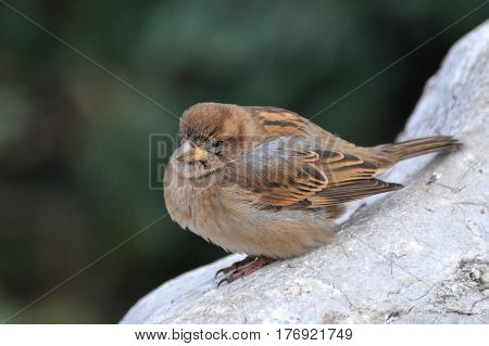 House sparrow on a rock. Sparrows are accustomed to the urban environment