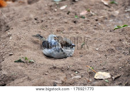 House sparrow play in the dirt . Sparrows are accustomed to the urban environment
