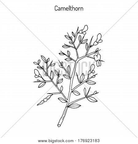 Camelthorn Alhagi maurorum , or camelthorn-bush, Caspian manna, Persian mannaplant. Hand drawn botanical vector illusrtation