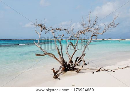The white sand beaches of Baby Beach with a driftwood tree.