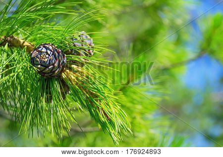 Spring background with young cedar cones on branch