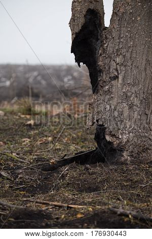 Dead tree after the fire. Burnt сharred tree trunk in the scorched field at foggy spring morning