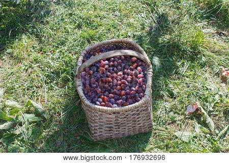 Organic Plums in basket in summer grass. Plums trees in autumn. Fresh apples in nature