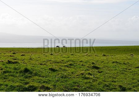 Animals in a field grazing above the Cliff's of Moher.