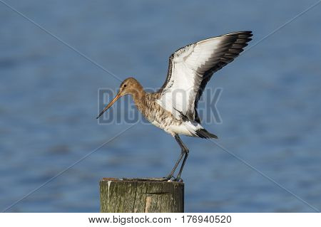 Black-tailed Godwit (Limosa limosa) standing on a Wooden Pole with spread Wings
