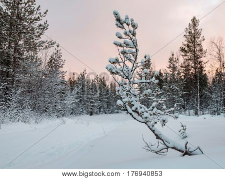 Young Ugly Pine In Winter